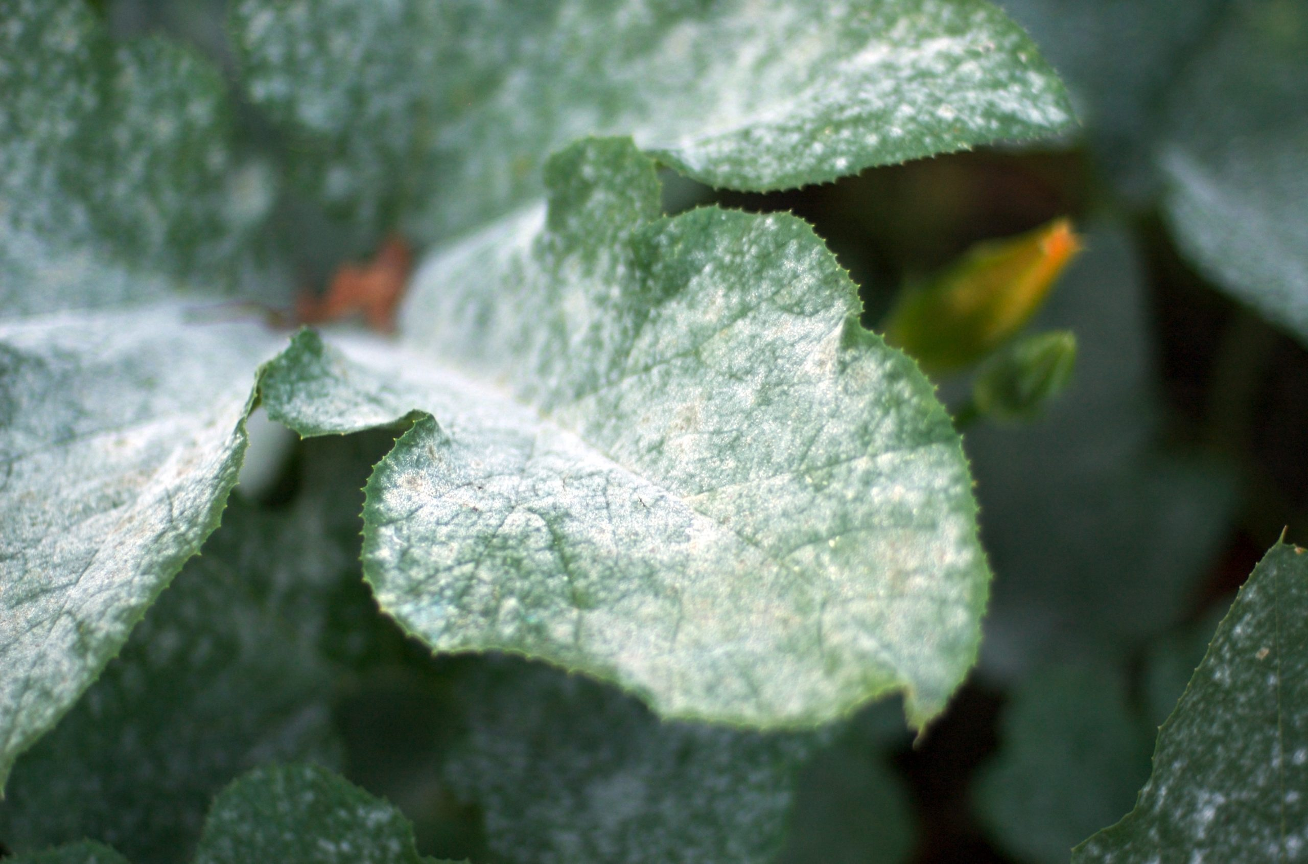 What does white powdery mildew look like?